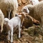 Овцы в Иерихоне
