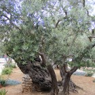 Древняя олива в Гефсиманском саду
