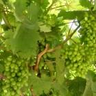 Виноград в Галилее