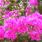 Иерихон цветет